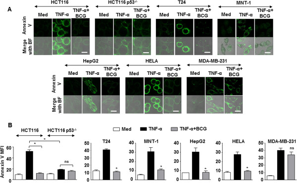 BCG inhibits TNF-α-mediated apoptosis. (A and B) HCT116, HCT116 p53 -/- , T24, MNT-1, HepG2, HELA and MDA-MB-231 cells were infected with BCG for 12 h prior to treatment with TNF-α. Representative immunofluorescence images (A) and MFI (B) for Annexin V-FITC staining. Data is representative of mean ± SEM of at least 3 different experiments. *p