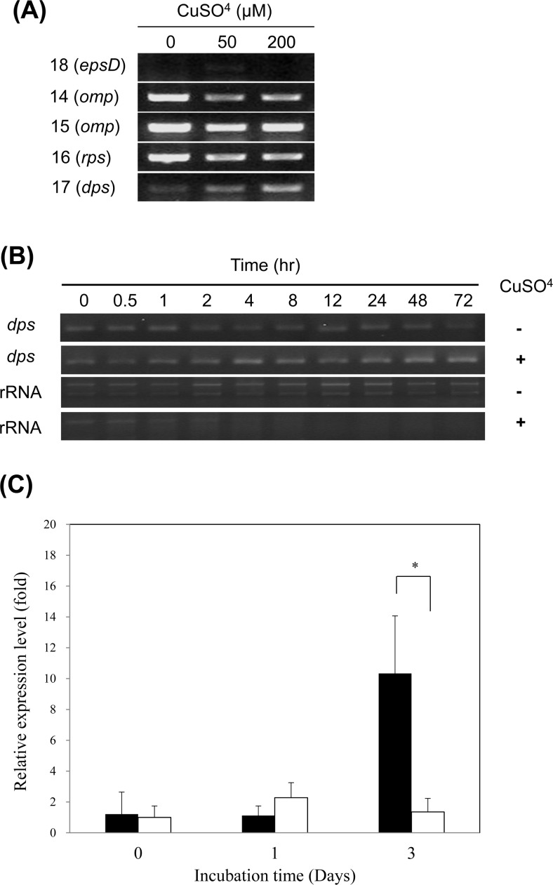 RT-PCR analysis of genes encoding induced proteins in VBNC R. solanacearum . (A) Total RNAs were extracted from bacterial cells maintained for 3 days in liquid microcosm containing various amount of copper sulfate. The numbers on the left represent the corresponding protein spot number from the 2-DE gel. (B) Detection of dps transcript over time in culturable (Cu−) and VBNC (Cu+) R. solanacearum . (C) Relative expression level of dps over time in VBNC cells (black) and culturable cells (white) of R. solanacearum . Y-axis represents the relative amount of dps transcript over omp transcript. The vertical bar represents the standard deviation of 3 replicates. Asterisk represents significant difference between VBNC cells and culturable cells, P
