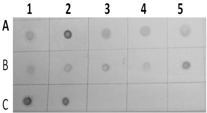 Results of dot blot hybridization assay of several infected alfalfa samples collected from Wadi aldawasser (Row A:1, 2, 3, 4 and 5) and Sajer (Row B: 1, 2, 3, 4 and 5) using AMV DIG-cDNA probe. (Row C:1, 2),RT-PCR product DNA as positive control. (No hybridization reaction was observed healthy alfalfa samples (Row C: 3, 4 and 5).