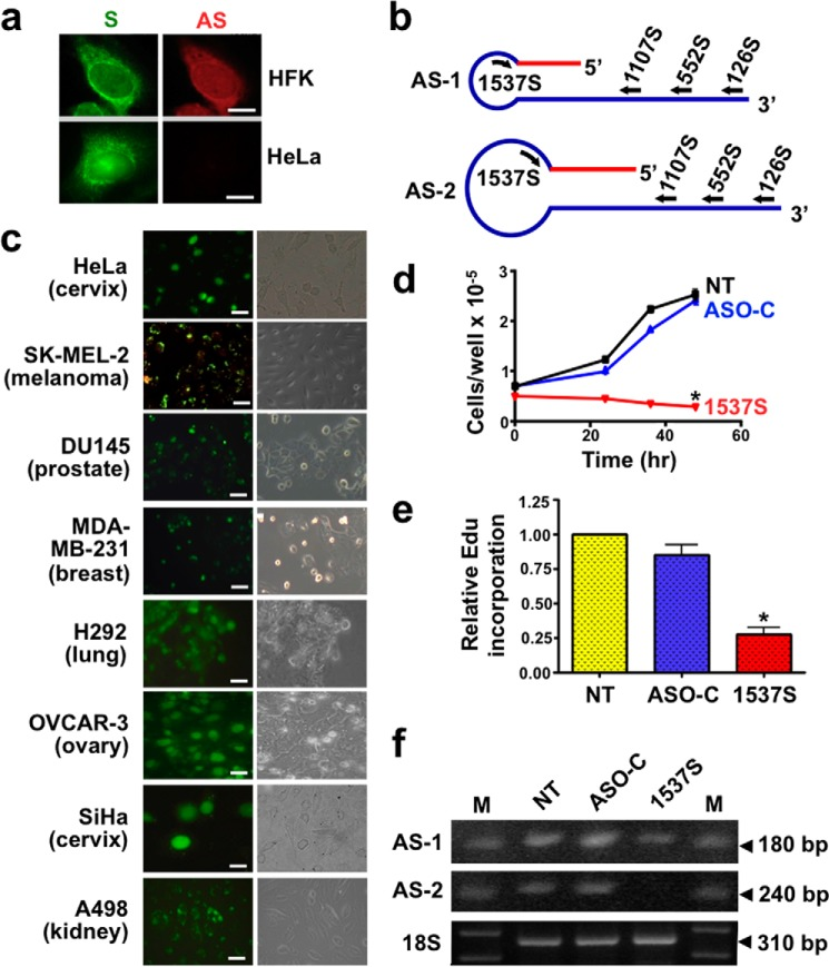 """ASK induces inhibition of proliferation in HeLa cells. a , differential expression of the SncmtRNA ( S; green ) and ASncmtRNAs ( AS; red ) in human keratinocytes and HeLa cells as observed by FISH. b , schematic representation of the AS-1 and -2, indicating the relative position of the ASOs utilized in this work. c , transfection of different tumor cell lines with fluorescently labeled ASO-1537S. The indicated cell lines were seeded at 5 × 10 4 cells/well into 12-well plates and transfected the next day with ASO-1537S coupled to <t>Alexa</t> <t>Fluor</t> 488 (see Table 1 ). At 24 h post-transfection > 90% of cells were fluorescently labeled ( left panel , fluorescence; right panel , phase contrast. Bars = 20 μm). d , proliferation of HeLa cells. Cells (5 × 10 4 cells/well) were seeded into 12-well plates and transfected the next day with ASO-C or ASO-1537S (see """"Experimental Procedures"""") or left untreated ( NT ). At the indicated times cells were harvested and counted. At 48 h post-transfection in triplicate, ASK with ASO-1537S induces significant inhibition of cell proliferation as compared with controls (data are presented as the mean ± S.E.; * p"""