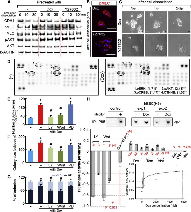 Doxycycline Permits Cell Survival and Maintenance of Undifferentiated hESCs through PI3K-AKT Signal Activation. (A–C) Cell dissociation-induced actomyosin hyperactivation is prevented by Y-27632, but not by doxycycline treatment. H9 hESCs were incubated with doxycycline or Y-27632 or without these chemicals (control) for 1 hr prior to cell dissociation. Cells were then harvested 0, 10, and 30 min after cell dissociation and subjected to western blot analyses to detect proteins involved in cell-dissociation-induced apoptosis (A). Shown in (B) and (C) are representative pMLC-immunostained and phase-contrast images of dissociated hESCs in the cultures treated with Y-27632 or doxycycline. Cells pretreated with Y-27632 or doxycycline were dissociated, directly plated onto Matrigel with mTeSR1 and cultured in the continuous presence of the chemicals. The images were captured at the indicated time after plating (dissociation). Scale bars, 30 μm. (D) Estimation of intracellular signals activated by doxycycline. H9 hESCs were incubated without (control) or with doxycycline (1 μg/ml) for 30 min before harvesting and then subjected to immunoblot analyses using the human phosphokinase blot array, which is designed to detect 46 phosphorylated intracellular proteins. The array analyses were performed in technical triplicate. Shown is a representative pair of blots of the untreated control and doxycycline-treated cells. In the blots, spots whose intensities are greater ( > 1.5-fold) in the doxycycline-treated group, compared to the control, are marked with dotted circles and listed with the fold increase (parentheses) in the inset. ∗∗ p