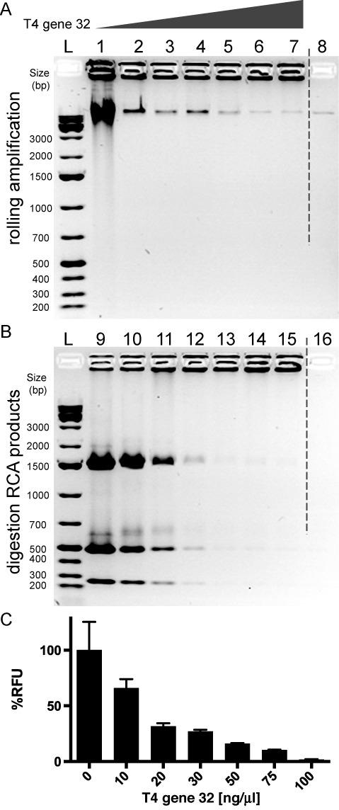 RCA assay of pUC19 DNA plasmid. ( A ) Agarose gel of pUC19 RCA products. Lanes 1–7 RCA performed with increasing concentrations of T4 gene 32 protein (0,10, 20, 30, 50, 75, 100 ng/μl respectively); lane 8 negative control with no phi29 DNA polymerase in the reaction mixture; 1 kb plus DNA ladders (L). ( B ) Agarose gel of MlyI digestion test. RCA products in (A) were digested by MlyI restriction enzyme and the corresponding digestion products (9-16) were run on agarose gel. 1 kb plus DNA ladders (L). ( C ) Picogreen assay of pUC19 RCA. The amplification is expressed in percentage of relative fluorescence units (RFU) and the signal of the amplification product without T4 gene 32 is taken as 100%. Both MlyI digestion and picogreen assay confirm that rolling circle amplification makes mostly double-stranded DNA but they also suggest that T4 gene 32 SSB protein drastically reduces dsDNA production.