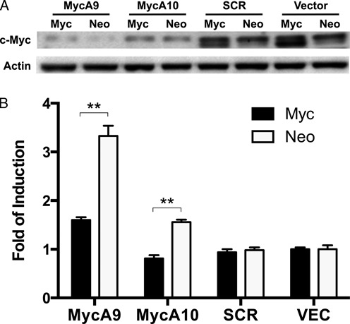 Effect of c-Myc overexpression on hTERT promoter induction. ( A ) c-Myc KD in Tel + /H(wt) cells containing LNCX-c-Myc (Myc) or LNCX vector (Neo) retroviruses. The cells were transduced with <t>lentiviral</t> shRNAs and harvested for western analysis 4 days later. ( B ) Induction of transgenic hTERT promoter. Luciferase activities were measured 4 days post infection and hTERT promoter activities were determined as Rluc / Fluc . **, P