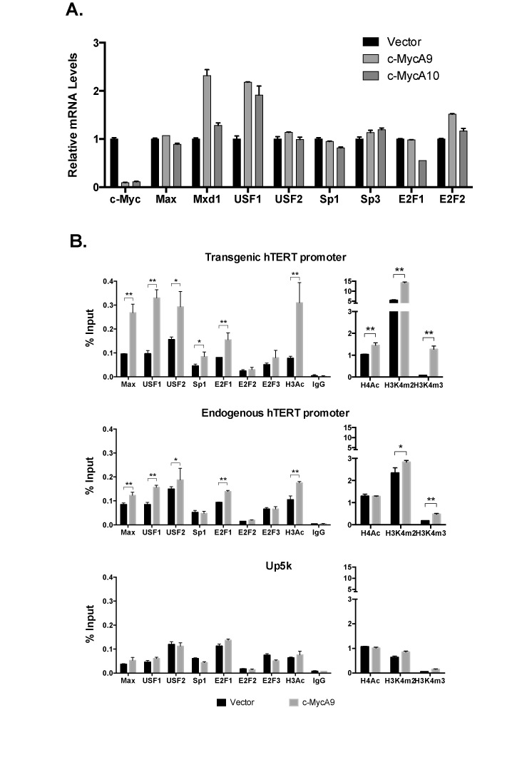 Effects of c-Myc KD on TF recruitment to the hTERT promoters. Tel + H(wt) cells were infected with lentiviral shRNAs against c-Myc, c-MycA9 and c-MycA10, for 4 days. ( A ) The expression of TFs. mRNA levels were measured by quantitative RT-PCR and normalized to 18S rRNA. ( B ) Binding of TFs to the hTERT promoters. ChIP experiments were performed as described in Figure 6 . *, P