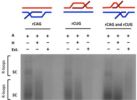R-loop processing by human cell extract. In vitro transcription of a (CAG) 79 ·(CTG) 79 repeat-containing plasmid with [α- 32 P]rCTP was performed followed by RNase A treatment (to cleave single-stranded RNA); labeled 'A' or <t>RNase</t> H treatment (to also cleave RNA:DNA hybrids of the R-loop); labeled 'H' or human cell extract treatment; labeled 'Ext.' as indicated. The configuration of the R-loop generated is schematically represented above the gel. Autoradiographic signal in the gel represents R-loop formation. The position of supercoiled plasmid in dimer and monomer form is indicated by 'sc' where the top 'sc' represents linked dimers and bottom 'sc' represents monomers.