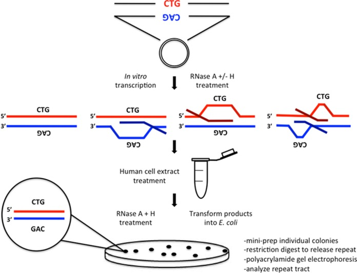 R-loop instability assay. Plasmids bearing an expanded (CAG) 79 ·(CTG) 79  repeat tract were in vitro transcribed and treated with the appropriate RNase to produce R-loop templates of each configuration as schematically depicted. R-loop templates were subsequently treated with human (HeLa) cell extract to allow processing to occur. Nucleic acid products were extracted and subjected to a final RNase A+H treatment to remove any residual R-loop products and transformed into E. coli bacteria and plated overnight. Individual colonies were picked (representing individual products of R-loop processing) and minimally cultured (see Materials and Methods). DNA was then extracted and restriction digested to release the repeat tract. Products were electrophoresed alongside known size markers to determine repeat length.