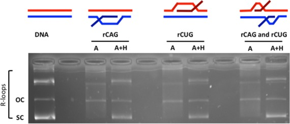 R-loop formation in (CAG) 79 ·(CTG) 79 templates. Templates were in vitro transcribed with T3 and/or T7 RNA polymerases and treated with RNase A (which digests single-stranded RNA) to form each R-loop configuration indicated schematically above the gel. The presence of R-loops forces the plasmid into a more open configuration, thus reducing electrophoretic migration within the gel. Treatment of the R-loop with RNase H cleaves RNA that is base-paired to DNA (the RNA:DNA hybrid) and thus collapses the R-loop, returning DNA to supercoiled form. The position of supercoiled plasmid is indicated as 'sc' and open circular plasmid as 'oc'. Products above these are catenated multimers, which also form R-loops.