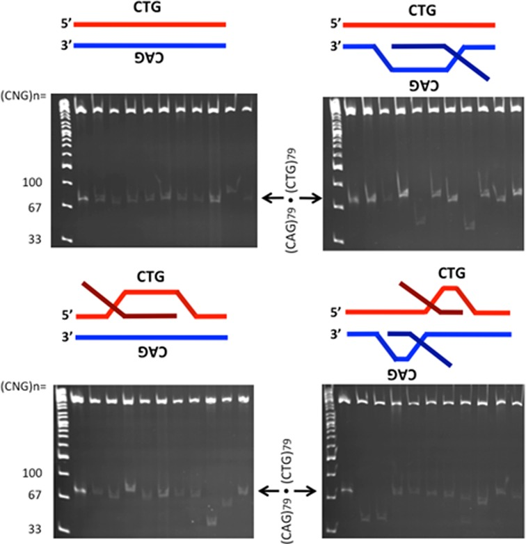 Products of R-loop processing by gel analysis. R-loop templates were formed by in vitro transcription; the DNA control template was not transcribed, while the other templates were transcribed and treated with RNase A to remove single-stranded RNA but retain the R-loop configuration as indicated schematically above each gel. These templates were treated with HeLa cell extract. Products of HeLa extract processing were extracted, treated with RNase A+H to remove residual R-loops and transformed into E. coli. Following minimal culturing, products of each R-loop configuration were resolved on polyacrylamide gels alongside known size markers. The product immediately adjacent to the ladder lane in each gel (indicated by arrow) is the untranscribed, unprocessed parental DNA template that serves as a size marker containing 79 (CAG)·(CTG) repeats.