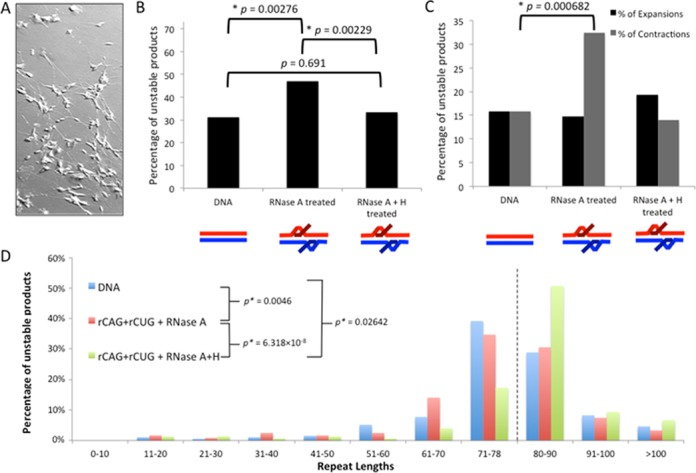 Instability analysis of products from double-R-loop processing by neuron cell extract. ( A ) Retinoic acid-differentiated SH-SY5Y cells. ( B ) Percentage of total unstable products following processing. Products were characterized as either stable (having 79 repeats) or unstable (having fewer than or greater than 79 repeats), based on electrophoretic migration and plotted. Data are derived from three independent  in vitro  transcription and retinoic acid human SH-SY5Y cell extract processing reactions with ∼150 colonies (∼50 colonies per replicate) representing 150 individual products of cell extract treatment analyzed for each R-loop configuration. Individual experiments were compared with each other within a triplicate using the  χ 2  test to ensure there were no significant differences between experiments and then data were pooled for each experimental condition. Specific colony numbers are as follows: DNA-194; rCAG+rCUG+RNase A-121; rCAG+rCUG+RNase A+H-149. Products of R-loop processing were compared to the DNA control processing products using the  χ 2  test. ( C ) Percentage of contractions and expansions from processing. Unstable products were further separated into contractions (fewer than 79 repeats) and expansions (greater than 79 repeats) and plotted. The distribution of contractions and expansions were compared between R-loop products and DNA control products using the  χ 2  test. ( D ) Distribution of unstable products of R-loop processing. Sizes were estimated for each unstable product of processing from electrophoretic migration position relative to known size markers as previously described (  26 ) and plotted. Only unstable products are shown; the stable repeat size of 79 is indicated by the dashed vertical line.