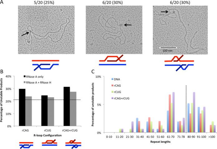 Instability analysis following R-loop removal. ( A ) Detection of S-DNA structures following R-loop removal with RNase H. DNA templates were transcribed to generate r(CAG), r(CUG) or r(CAG)+r(CUG) R-loops and then treated with RNase A and RNase H to remove all single-stranded RNA and RNA:DNA hybrids. EM was performed on individual molecules in the presence of bacterial SSB to detect unpaired DNA strands that exist in S-DNA structures (see 'Materials and Methods'). A total of 20 molecules were analyzed for each sample type. DNA controls that were not transcribed contained 2/20 (10%) molecules bound by SSB. The number of samples bound by SSB at a single position following R-loop removal is indicated above each image and expressed as a percentage. ( B ) Percentage of unstable products following processing of RNase H-treated R-loops. R-loop products of each configuration were treated with RNase H prior to cell extract processing and assessed for instability through STRIP analysis as in (A). Products from (A) (RNase A only) were compared to RNase H-treated R-loops (RNase A+H) using the χ 2 test. Data for RNase H-treated R-loop processing are derived from three independent in vitro transcription and human cell extract processing reactions with ∼150 colonies representing 150 individual products of cell extract treatment for each RNase H-treated R-loop configuration. Specific colony numbers are as follows: rCAG-148, rCUG-152, rCAG+rCUG-153. Dashed line indicates DNA control level of instability (21%) for comparison. ( C ) Distribution of unstable products of HeLa extract processing following RNase-H-mediated R-loop removal. Sizes were determined for each unstable product of processing from electrophoretic migration position relative to known size markers as previously described ( 26 ) and plotted. Only unstable products are shown; the stable repeat size of 79 is indicated by the dashed vertical line.