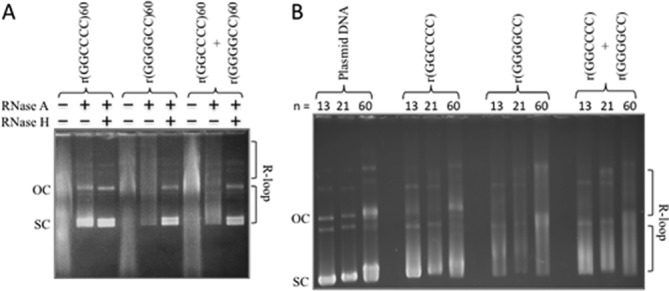 C9orf72 repeat forms R-loops and double-R-loops. ( A ) Templates with (GGGGCC) 60 ·(GGCCCC) 60 were in vitro transcribed with T3 and/or T7 RNA polymerases and treated with RNase A (which digests single-stranded RNA) to form each R-loop configuration indicated schematically above the gel. The presence of R-loops forces the plasmid into a more open configuration, thus reducing electrophoretic migration within the gel. Treatment of the R-loop with RNase H cleaves RNA that is base-paired to DNA (the RNA:DNA hybrid) and thus collapses the R-loop, returning DNA to supercoiled form. The slower migrating products above these are catenated multimers, which also form R-loops. ( B ) Templates with 13, 21 or 60 C9orf72 repeats were transcribed as in panel (A) to reveal single and double-R-loop formation.
