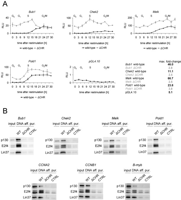 Non-canonical CHR elements are essential for cell cycle-dependent gene transcription and DREAM binding. (A) Promoter activity of Bub1 , Chek2 , Melk and Pold1 was analyzed with luciferase reporter assays in NIH3T3 cells synchronized by serum starvation followed by serum re-stimulation. Activities of wild-type promoters were measured in different cell cycle phases and compared to the activity of the corresponding CHR mutants (ΔCHR). pGL4.10 empty vector served as a negative control. FACS analyses for the different time points are shown in Supplementary Figure S1. (B) DREAM binding to promoters with non-canonical CHR elements was analyzed by DNA affinity purification followed by western blot. Proteins from nuclear extracts of density-arrested NIH3T3 cells binding to wild-type promoters (WT) and CHR mutants (ΔCHR) were probed with antibodies targeting p130, E2f4 and Lin37 as representative components of DREAM. A DNA probe of the Gapdhs promoter served as a negative control (CTRL).