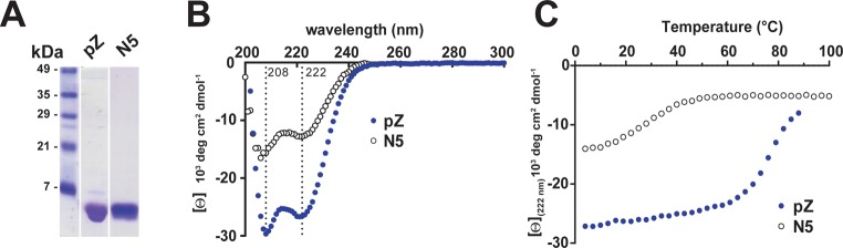 (A) Coomassie-stained SDS-PAGE of purified recombinant pZ and N5. (B) Comparison of pZ and N5 CD spectra at 4 °C. (C) Thermal denaturation of pZ and N5, monitored by CD at 222 nm. CD data were measured in a buffer of 150 mM KCl, 4 mM <t>β-mercaptoethanol,</t> 10 mM phosphate, pH 7.4.