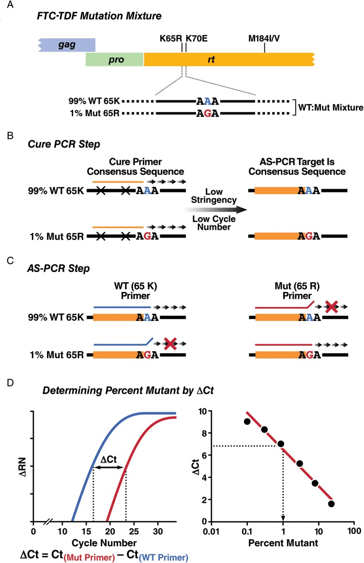 Schematic of the qMVA for low-level drug resistance. A , FTC/TDF selected mutations measured by the qMVA. DNA amplicons spanning TDF-associated mutations K65R, K70E, and FTC-associated mutations M184V/I are generated by nested RT-PCR from plasma HIV-1 virions, representing the predominant and minor quasispecies. The example shows a hypothetical viral mixture at rt 65 with 99% WT (consensus B codon AAA, Lys) and 1.0% Mut (consensus B codon AGA, Arg) where the mutant sequence is undetectable by population sequencing. B , Cure PCR step. The cure PCR step is performed prior to the AS-PCR step to normalize possible sequence heterogeneity in the AS-PCR primer target sites that can reduce PCR efficiency and result in inaccurate quantification of the minor variant population. The example portrays a virus that differs from the discriminatory AS-PCR primer at 2 sites upstream from the SNP conferring resistance. A low-stringency PCR with limited cycle number is performed on the mixed WT (99%) and Mut (1%) DNA amplicons, using a consensus sequence-based primer pair covering the AS-PCR target sites adjacent to but not including the SNP conferring resistance. When paired with another consensus primer, AS-PCR target amplicons are generated representing the original WT:Mut SNP mixtures, but with AS-PCR target sequences normalized to HIV-1 consensus sequences. C , AS-PCR reaction. Amplicons generated by the cure PCR are diluted appropriately and duplicate PCR reactions are performed with primers specific for the WT or Mut SNP. The discriminatory capability of the AS-PCR primers is enhanced by incorporating a 3′, -2 base mismatch into the AS-PCR primer [ 36 ]. D , Determining percent mutant by ΔCt. The percent minor variant in a mixture of WT:Mut amplicons is determined by ΔCt measurements from real-time PCR using WT- and Mut-specific discriminatory primers. When extrapolated by linear regression against a 6-point standard curve run simultaneously (0.1% to 24.3% Mut input in WT background), the percent minor variant (65R) can be derived. Abbreviations: AS-PCR, allele-specific polymerase chain reaction; FTC, emtricitabine; HIV, human immunodeficiency virus; Mut, mutant; PCR, polymerase chain reaction; qMVA, quantitative minor variant assay; RT-PCR, reverse-transcriptase PCR; SNP, single nucleotide polymorphism; TDF, tenofovir disoproxil fumarate; WT, wild-type.