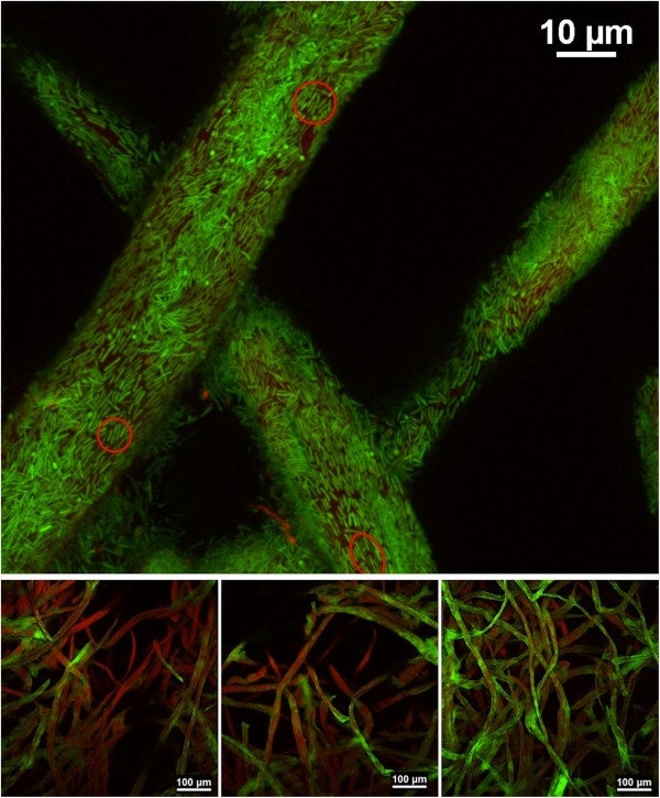 Biofilm development during microbial limitation. Confocal scanning micrographs of Clostridium thermocellum <t>biofilms</t> on Whatman #3 filter paper chads taken midway during the 'biofilm invasion' region. Low magnification images (below) show varying degrees of biofilm colonization (green) on cellulose fibers (red); where it is common to observe surface fibers with little to no biofilm growth. High magnification imaging (above) of selected heavily populated fibers shows the typical cell monolayer biofilms of this species, with cells closely lining the substratum. Dividing cells (red circles) and occasional small spore-forming cells (green dots) are observed at the surface. Cells stained with SYTO 9 (green); cellulose fibers stained with WGA-TRITC (red).