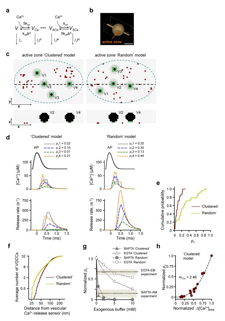 Modeling action potential-evoked release in small hippocampal synapses. ( a ) Allosteric model of Ca 2+ activation of vesicle fusion 19 . ( b ) Presynaptic bouton geometry used in VCell simulations. Scale bar 0.5 μm. ( c ) Representative distributions of VGCCs and vesicles in the active zone for Clustered (left) and Random (right) models. Top, XY cross-sections 2.5 nm above the active zone; bottom, XZ cross-sections corresponding to black dashed lines in the XY plane. Blue dashed lines, active zone borders; brown dots, VGCCs; black dots, space occupied by vesicles; gray circles, vesicle projections on the XY plane; green dots, locations of Ca 2+ -release sensors, grid 5 nm. ( d ) Simulation results corresponding to geometries in ( c ). Top, action potential waveform; middle, average [ Ca 2+ ] transients at Ca 2+ -release sensors; bottom, corresponding release rates; legends, resulting fusion probabilities p v . ( e ) Cumulative probability plots of p v for Clustered and Random models. (n = 28 vesicles from 7 simulated synapses for each model). ( f ) Cumulative probability plots showing the average number of VGCCs located within a given distance from the vesicular Ca 2+ -release sensors (n = 240 vesicles from 60 simulated synapses). ( g ) Model predictions for inhibition of evoked release by BAPTA and EGTA. Dotted lines show the experimental effects of BAPTA-AM and EGTA-AM as determined in Fig. 4e . ( h ) Dependency of p v on Δ[ Ca 2+ ] total simulated by progressive deletion of active VGCCs. Data are from 5 simulated synapses, each point represents average p v for 4 release-ready vesicles. Data on both axes are normalized to the corresponding maximal values at basal conditions. Dotted lines, fitted power function, with the slope corresponding to Ca 2+ current cooperativity m ICa = 2.46.