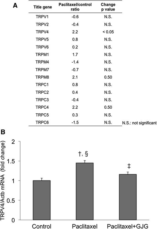 Altered expression of TRP genes by paclitaxel. A . Screening of expression of TRP genes by DNA microarray. B . TRPV4 validaton by RT-PCR. TRPV4 gene, whose change in expression was significant in DNA microarray, was determined by TaqMan Gene Expression Assay. † P