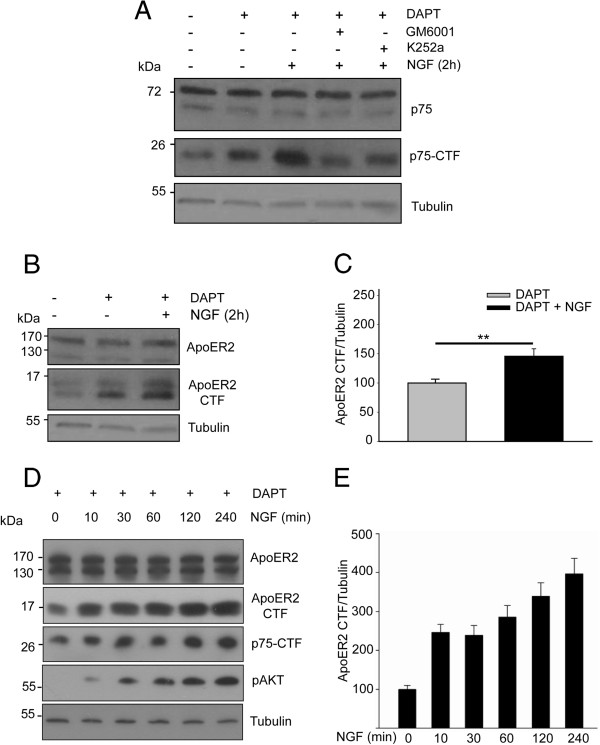 NGF induces the proteolytic processing of ApoER2. (A) Serum-starved PC12-ApoER2 cells were pre-treated with 10 μM DAPT (γ-secretase complex inhibitor), 50 μM GM6001 (metalloproteases inhibitor) and/or 100 nM K252a (Trk tyrosine kinase activity inhibitor) for 1 h and then incubated with 100 ng/mL NGF for 2 h. The blot shows full-length p75 NTR , p75 NTR CTF, and α-tubulin as a loading control. As described [ 40 ], NGF induced the proteolysis of p75 NTR and, thus, the accumulation of the CTF. This process depends on TrkA tyrosine kinase activity and the metalloproteinases. (B) Cells were pre-treated with 10 μM DAPT for 1 h and then incubated with 100 ng/mL NGF for 2 h. ApoER2 and the proteolytic fragment ApoER2-CTF were recognized using antibodies against the intracellular region of the receptor. α-tubulin is shown as a loading control. (C) Quantification of blot levels of ApoER2-CTF normalized to the loading control α-tubulin and plotted as the average ± SD of four independent experiments. Student's t-test, ** P