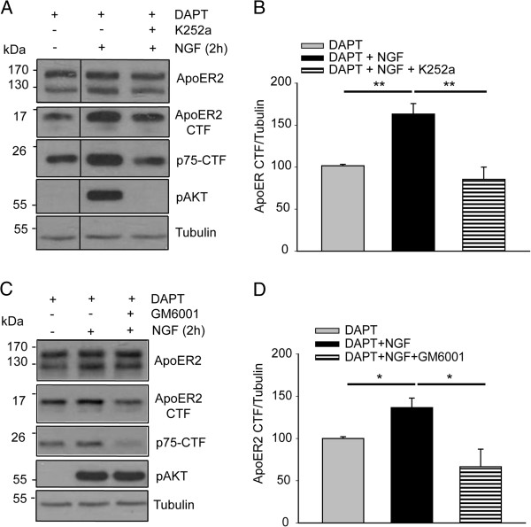 ApoER2 proteolysis induced by NGF depends on TrkA tyrosine kinase activity and on metalloproteinase activity. PC12-ApoER2 cells were serum-starved and pre-treated with 10 μM DAPT and (A) 100 nM K252a or (C) with 50 μM GM6001 for 1 h. Then, the cells were incubated with 100 ng/mL NGF for 2 h. ApoER2, ApoER2-CTF and the proteolytic fragment of p75 NTR (control) were determined by western blot analysis using antibodies directed against their intracellular regions. α-tubulin is shown as a loading control, and the phosphorylated form of AKT is a control for TrkA activation by NGF. (B and D) The levels of ApoER2 CTF were normalized to the loading control α-tubulin and plotted as the average ± SD of three independent experiments. One way ANOVA, Holm-Sidak post-hoc test, ** P
