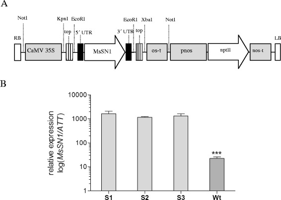 Characterization of transgenic alfalfa lines overexpressing MsSN1 . (A) Schematic representation of the T-DNA region of binary vector pART-35S::MsSN1 containing the MsSN1 gene under the CaMV 35S promoter. Relevant restriction enzymes used in plasmid construction and Southern Blot analysis are shown. RB: right border; CaMV 35S: promoter; Topo: region derived from pCR2.1-TOPO vector; UTRs: untranslated regions derived from the native MsSN1 gene; os-t: octopine synthase terminator; pnos-nptII-nos-t: kanamycin cassette (where, pnos and nos-t are nopaline synthase promoter and terminator, respectively); LB: left border. (B) Real-Time RT-PCR assays of alfalfa transgenic lines (S1-S3) and control untransformed plants (wt). All values are log means ± SEM (n = 3). Asterisks indicate a statistically significant difference (Tukey: ***p
