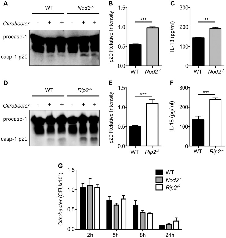 Enhanced inflammasome activation in Nod2 −/− and Rip2 −/− BMDMs. BMDM were generated from WT, Nod2 −/− and Rip2 −/− mice and infected with 20MOI of Citrobacter rodentium for 18 h. (A–F) Combined supernatant and lysates were examined by Western blot for caspase-1 cleavage (casp-1p20) visually (A,D) and by densitometry (B,E), or (C,F) supernatants were examined for IL-18 secretion by ELISA. (G) BMDM were infected with C. rodentium and assayed for intracellular growth at the indicated times post-infection. (A–F) Data are representative of five independent experiments with n = 2–3 wells per experiment. (G) Data are representative of two independent experiments with n = 2–3 wells per experiment. (B,C,E,F,G) Data are shown as the mean ± SEM. (*, p