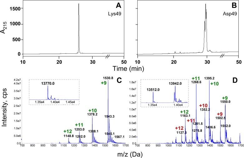 Analysis of the Asp49 phospholipase A 2 preparation obtained after cation-exchange chromatography and semi-preparative RP-HPLC on C 8 . A Lys49 myotoxin control (A) and the Asp49 peak shown in Fig. 1 (B) were subjected to analytical RP-HPLC on a C 4 column, using a 60 min gradient (see Materials and Methods). For clarity, the gradient line is omitted and the time scale is magnified in the region of interest. The same samples were analyzed by nano-electrospray mass spectrometry in (C) and (D). Insets within dotted lines show the corresponding deconvolutions of the multicharged ion series and calculation of the isotope-averaged observed molecular masses of these samples.