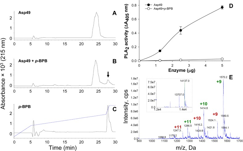 Modification of the Asp49 phospholipase A 2 by p -bromophenacyl bromide ( p -BPB). (A) unmodified enzyme control; (B) p -BPB-treated enzyme; and (C) p -BPB reagent control. The three samples were separated by RP-HPLC in a semi-preparative C 8 column as in Fig. 1B . (D) Comparison of the phospholipase A 2 (PLA 2 ) activities of the control Asp49 enzyme and the p -BPB-treated enzyme on the synthetic monodisperse substrate 4-nitro-3-octanoyloxybenzoic acid. Each point represents mean ± SD of three replicates. (E) Nano-electrospray mass spectrometry confirmation of the covalent incorporation of a single molecule of p -BPB in the modified Asp49 myotoxin. The observed isotope-averaged masses of the modified Asp49 preparation show an increase of 195 ± 3 Da in comparison to the masses of untreated proteins ( Fig. 2D ).