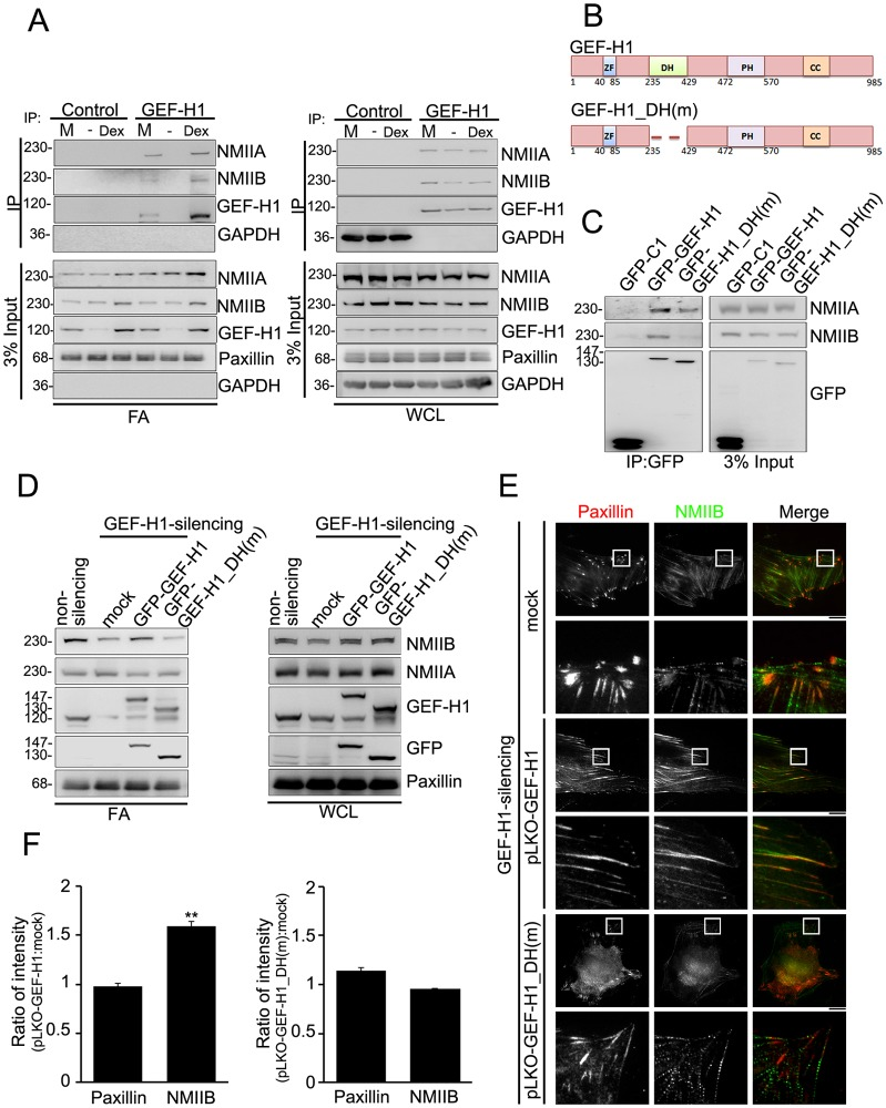 GEF-H1 recruits NMIIB to FAs through its DH domain. (A) FA fraction (FA) and whole-cell lysate (WCL) from MSC-3A6 cells treated with control culture medium (M) or serum-starved MSC-3A6 cells treated with ethanol (–) or Dex (0.1 µM) for 6 h was immunoprecipitated using the control (rabbit anti-GAPDH) or anti-GEF-H1 antibodies, and analyzed by western blotting. The 3% input of FA fraction was analyzed by western blotting. (B) Diagram of the domain structures of GEF-H1 and GEF-H1_DH(m). ZF, zinc-finger motif; DH, Dbl homology domain; PH, pleckstrin homology domain; CC, coiled-coil domain. (C) Whole-cell lysates from serum-starved MSC-3A6 cells expressing GFP–C1, GFP–GEF-H1 or GFP–GEF-H1_DH(m) treated with Dex (0.1 µM, 6 h) were immunoprecipitated using GFP-Trap beads. The immunoprecipitated complexes and the 3% input of whole-cell lysate were then analyzed by western blotting. (D) The FA fraction (FA) and the whole-cell lysate (WCL) from serum-starved non-silencing and GEF-H1-silencing MSC-3A6 cells expressing <t>pGFP-C1</t> (mock), pGFP-GEF-H1 or pGFP-GEF-H1_DH(m) and treated with Dex (0.1 µM, 6 h) were analyzed by western blotting. (E) TIRF images of immunolocalized paxillin (red) and NMIIB (green) in GEF-H1-silencing MSCs expressing pLKO-vector (mock), pLKO-GEF-H1, or pLKO-GEF-H1_DH(m) and treated with Dex (0.1 µM, 6 h). Scale bars: 20 µm. The boxed 20 µm×20 µm areas indicated in the upper image rows are magnified in the row below. (F) Ratio of average density (intensity per µm 2 ) of paxillin or NMIIB within segmented FAs of GEF-H1-silencing MSCs expressing pLKO-GEF-H1 relative to mock, or GEF-H1-silencing MSCs expressing pLKO-GEF-H1_DH(m) relative to mock ( n = 11 cells for each condition). Data are mean±s.e.m. ** P