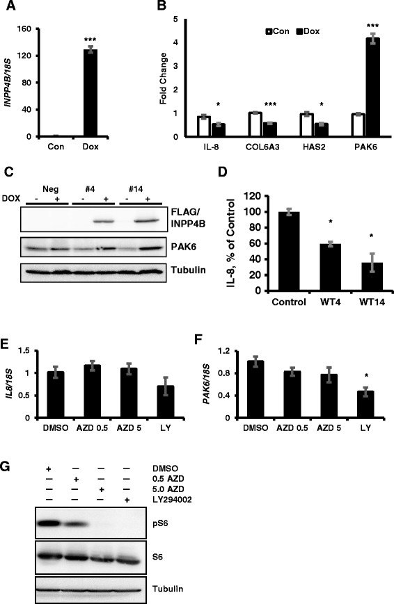 INPP4B regulation of IL-8 and PAK6 is independent of Akt. PC-3 Tet-On #14 cells were cultured for 2 days with or without doxycycline on matrigel coated plates in full medium. (A) INPP4B induction levels were determined by quantitative RT-PCR. (B) Validation of gene expression in samples from (A) : IL-8, COL6A3, HAS2 and PAK6. (C) Negative control, #4, and #14 PC-3 cell lines were treated as in (A) and cellular extracts were analyzed for FLAG-INPP4B, PAK6, and tubulin expression. (D) Negative control, #4, and #14 clines were induced with 0.5 μg/ml of doxycycline for 48 hours in complete medium. Conditioned medium was collected, cleared by centrifugation and concentrations of secreted IL-8 protein were determined using human IL-8-specific capture ELISA kit. Values were calculated as a percent of IL8 expression in negative control PC-3 clone. (E-F) PC-3 cells cultured in growth medium were treated with DMSO (vehicle), 0.5 μM AZD5363, 5 μM AZD5363 or 10 μM LY294002 to inhibit Akt or PI3K respectively. RNA was extracted and analyzed for expression of IL-8 (E) and PAK6 (F) by quantitative PCR and normalized to 18S . (G) Inhibition of PI3K and Akt by LY294002 and AZD5363 was confirmed by analyzing expression and activation status of the ribosomal protein S6 by Western blot analysis of PC-3 clone #14 cells treated with 0.5 or 5 μM AZD5363 (AZD) and 10 μM LY294002 (LY). Tubulin was used as a loading control. Data are presented as means ± SEM. * P
