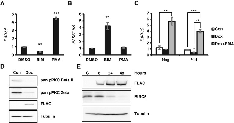 INPP4B regulates IL-8 and PAK6 through PKC signaling in PC-3 cells. (A-B) PC-3 cells cultured in regular growth medium were treated with DMSO (vehicle), 2 μM BIM-I (BIM), or 250 nM PMA to inhibit or activate PKC signaling respectively. RNA was extracted and analyzed for expression of IL-8 (A) and PAK6 (B) by quantitative RT-PCR and normalized to 18S . (C) PC-3 Tet-On Neg and #14 clones were cultured for 2 days ± doxycycline and treated with 250 nM PMA for 4.5 hours prior to RNA extraction and gene analysis for IL-8 . (D) PC-3 Tet-On #14 cells were cultured without Dox (Con), or with Dox for 2 days prior to protein extraction. Lysates were analyzed for phospho-PKCβII S660, phospho-PKCζ T410, FLAG-INPP4B, and tubulin. (E) PC-3 Tet-On #14 cells were cultured with doxycycline for the indication time periods prior to protein extraction. Lysates were analyzed for BIRC5, FLAG-INPP4B, and tubulin protein levels by Western blot analysis. Data in A, B, and C are presented as means ± SEM.