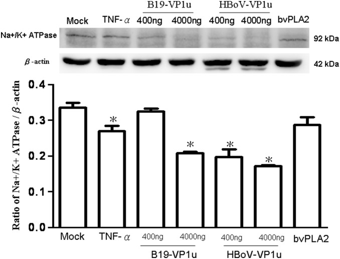 Expression of <t>Na+/K+</t> <t>ATPase.</t> Cell lysates obtained from A549 cells treated with PBS (mock), TNF-α (10 ng/ml), two dosages of recombinant B19-VP1u and HBoV-VP1u (400 ng/ml and 4000 ng/ml) and bee venom PLA2 (10 ng/ml) were probed with antibodies against Na+/K+ ATPase. Quantified result was shown in the lower panel. Similar results were observed in three independent experiments and * indicates the significant difference as compared to the mock, P