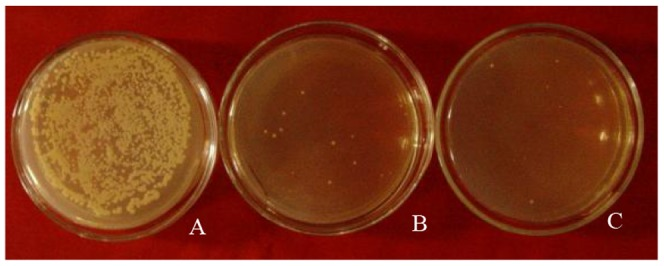 Screening of protoplast fusants. A. Many colonies are found to grow on YEPDS regenerated solid medium when protoplast fusants are spread on it. B and C. Several colonies grow on YEPDS regenerated solid medium with blasticidin and G418.