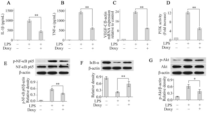 Doxycycline suppresses LPS-induced macrophage activation by modulating the PI3K/Akt/NF-κB pathway. The levels of IL-1β (A) and TNF-α (B) in the supernatants were measured using ELISA. The expression of VEGF-C mRNA (C) was determined using real-time PCR. Doxycycline treatment significantly reduced PI3K activity (D). The levels of (phosphorylated) NF-κBp65 (E), IκB-α (F) and (phosphorylated) Akt (G) were determined using Western blotting. * p
