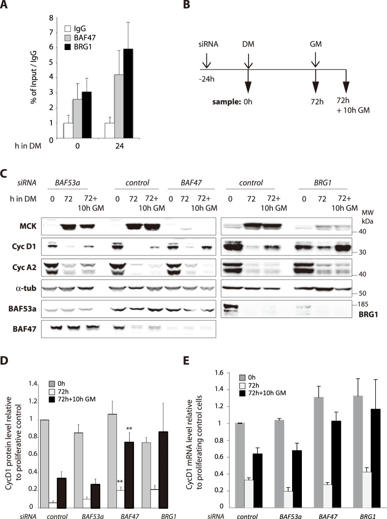 Downregulation of BAF47 alters muscle terminal differentiation and cell cycle exit. A. BAF47 and BRG1 occupancy at cyclin D1 promoter. ChIP-qPCR analyses of BAF47 and BRG1 in myoblast in proliferating C2C12 cells and at 24 h of differentiation. The immunoprecipitated material was quantified by qPCR, and results are expressed as fold enrichment of the % of Input of BAF47 or BRG1 ChIP over % of Input of the IgG average. Data are represented as mean ±SEM, n = 3. B. Scheme of the timing for samples collection. C2C12 myoblasts were transfected with control, BRG1, BAF53a or BAF47 siRNAs and samples prepared either 24 h after transfection (0) or after 72 h in DM (72) or 10 h after the switch back to GM (72+10 h GM). C. Total protein extracts were analyzed by WB with the indicated antibodies. D. Quantification of cyD1 levels from 3 to 8 independent WB. Data are expressed compared to control 0 h. Error bars represent SEM. For each time point, statistics were calculated compare to the same time point from control. Only significative p-values (Student T-test, two tailed, unpaired) are indicated ** =