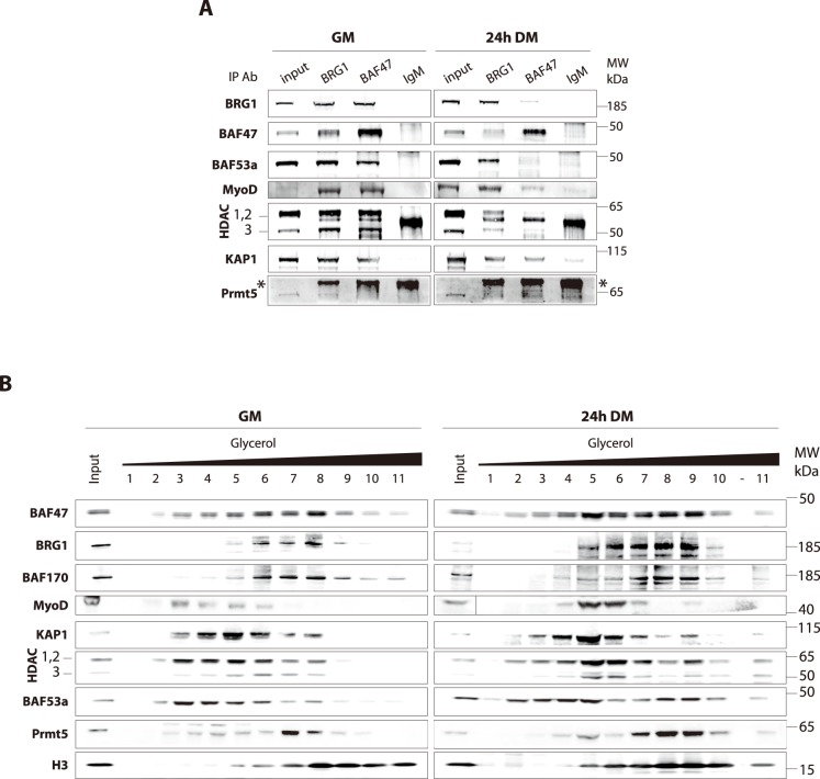 BRG1 and BAF47 interact with SWI/SNF and N-CoR-1 complex components in a differentiation-dependent manner. A. Nuclear extracts from proliferating (GM) or differentiating C2C12 myoblasts (24 h DM) were used for immunoprecipitation (IP) with antibodies against BRG1 or BAF47, or with normal rabbit IgG as a negative control. The resulting precipitates were analyzed by WB with the indicated antibodies. Nuclear extracts (Inputs, 1% of input extracts) were loaded to assess endogenous protein levels. *: non-specific IgG band. B. Nuclear extracts from proliferating (GM) or differentiating C2C12 myoblasts (24 h DM) were fractionated on glycerol gradient ranging from 11% (fraction 1) to 33% (fraction 11); (-) empty lane. Fractions were collected and analyzed by WB using the indicated antibodies. Nuclear extracts (Inputs, 2.5% of input extracts) were loaded to assess endogenous protein levels.
