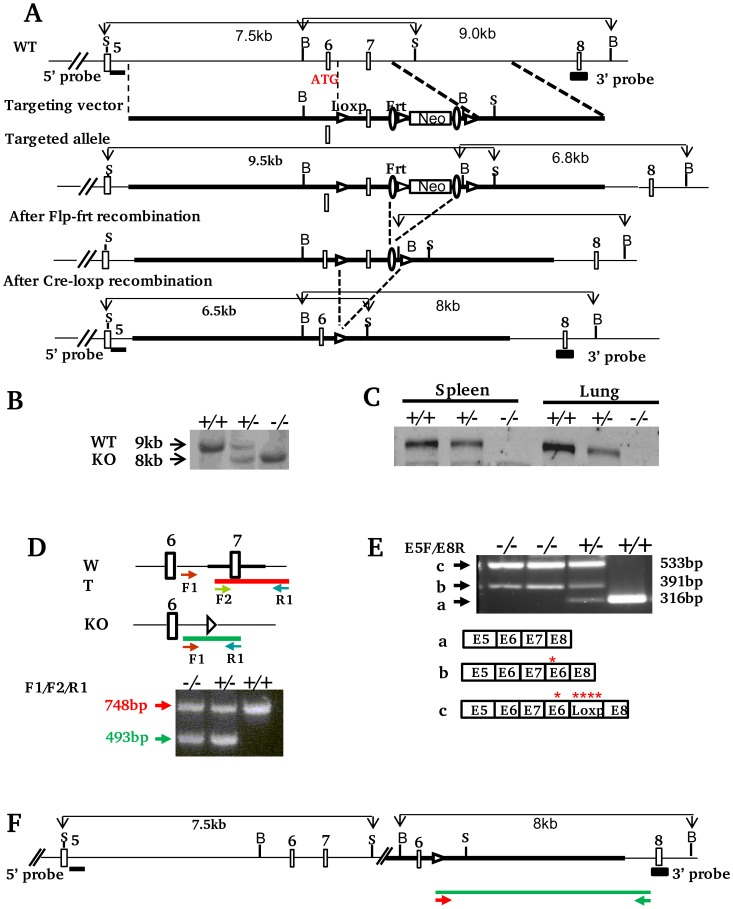 Generation of Xb130 −/− mice. A. Schematic strategy of xb130 gene targeting. Structure of Xb130 gene (5′ part), targeting construct, targeted allele and final knockout allele are shown (Empty Boxes: exons; S: SacI; B: BamHI, Filled boxes: Sites for Southern blot probes). Homologous recombination of ES cell genomic DNA with targeting construct inserts Loxp and Frt sites flanking an 879 bp region including Exon 7 and a floxed neomycin cassette. The deletion of Exon 7 causes a frame shift mutation and translation termination in Exon 8. B. Southern blotting with 3′ probe. Mice were derived from Xb130 +/− progeny. C. Western blotting. Protein lysates were extracted from spleen and lung tissues of Xb130 +/+ , Xb130 +/− and Xb130 −/− mice that were genotyped by Southern blotting. D. <t>PCR</t> based genotyping . Arrows indicate the location of primers used for PCR amplification. PCR product amplified from <t>F1</t> and R1 in WT allele was undetectable due to competition from short product F2/R1. E. RT-PCR. The exons of RT-PCR products from WT (a) and knockout (b and c) mice are indicated based on sequencing data. Red stars indicate induced in-frame stop codons. F. Predicted Xb130 knockout allele based on RT-PCR and genomic PCR data. The primers used for long PCR and the amplicon are indicated as arrows and green line respectively.