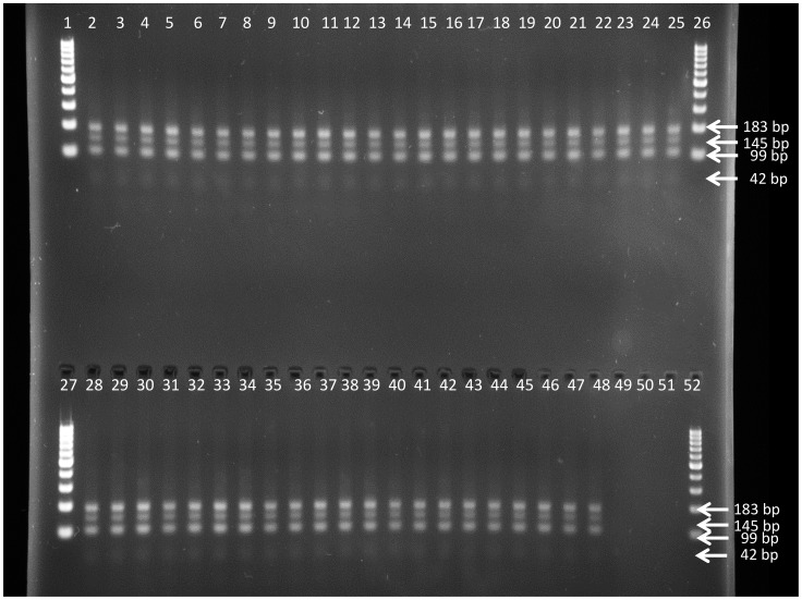 Restriction digest profile generated with SduI PCR-RFLP on DNA of the T.b. gambiense strains as listed in Table 1 , including the four strains isolated from relapsed mice. Lanes 1, 26, 27 and 52 = GeneRuler 100 bp Plus DNA Ladder (Fermentas), lanes 2 to 44 = T.b. gambiense strains isolated from Mbuji-Mayi, lane 45 = T.b. gambiense 15BT relapse 10 mg/kg BW, lane 46 = T.b. gambiense 163AT relapse 10 mg/kg BW, lane 47 = T.b. gambiense 346AT relapse 10 mg/kg BW, lane 48 = T.b. gambiense 346AT relapse 12 mg/kg BW, lane 49 = T.b. gambiense MBA, lane 50 = T.b. gambiense MM01, lane 51 = negative PCR control.