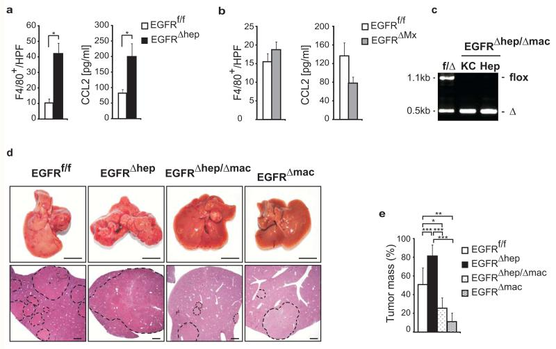 EGFR expression in Kupffer cells/liver macrophages promotes HCC development ( a, b ) Numbers of F4/80 + cells in tumors of mice (left, EGFR f/f : n=66 (4 mice), EGFR Δhep : n=54 (4 mice), EGFR f/f : n=37 (3 mice), EGFR ΔMx : n=36 HPF (4 mice)) and CCL2 serum levels in HCC mice (right, EGFR f/f : n=4, EGFR Δhep : n=7, EGFR f/f : n=4 and EGFR ΔMx : n=6 mice). ( c ) Representative PCR showing EGFR deletion in isolated hepatocytes (Hep) and Kupffer cells (KC) of control (f/Δ) and EGFR Δhep/Δmac mice. flox = not deleted (1.1kb) and Δ = deleted EGFR (0.5kb). ( d ) Representative livers (top, scale bar: 1cm) and H E stainings of sections of indicated genotypes (bottom, scale bars: 1mm) 63 weeks after tumor initiation. Dotted lines mark tumor nodules. Note: Tumors of EGFR f/f mice are bigger than in Fig. 2c, d , because the tumors were analyzed 27 weeks later due to a change in the genetic background of the mice. ( e ) Tumor mass in livers of EGFR f/f (n=10), EGFR Δhep (n=5), EGFR Δhep/Δmac (n=5) and EGFR Δmac (n=4) mice. Data ( a, b ) represent mean±s.e.m. Data ( e ) represent mean ±s.d. Student's t -test for independent samples and unequal variances was used to assess statistical significance (*p