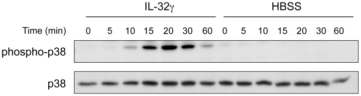 IL-32γ induces phosphorylation of <t>p38</t> <t>MAPK</t> in human blood neutrophils. Freshly isolated neutrophils were incubated in the presence of IL-32γ (500 ng.ml −1 ) or its vehicle (HBSS) for the indicated time. Phosphorylation of p38 and total p38 were detected by immunoblot. Representative of 4 different donors.