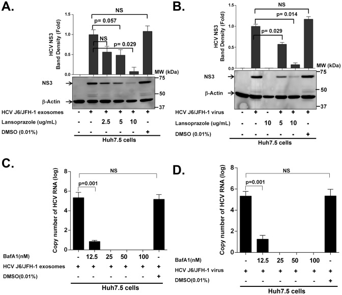 HCV transmission by exosomes and free virus can be blocked by proton pump inhibitor (Lansoprazole) and Vacuolar-type H+-ATPase inhibitor <t>(bafilomycin</t> A1). (A B) Huh 7.5 cells were pre-treated with Lansoprazole (2.5 µg/ml, 5 µg/ml, and 10 µg/ml) for 1 h at indicated concentrations, and then infected with (A) HCV exosomes or (B) cell free HCV virus for 24 h. Total protein was then extracted from cells and analyzed for HCV NS3 protein. (C D) Huh 7.5 cells were pre-treated with bafilomycin A1(Baf A1) (12.5 nM, 25 nM, 50 nM, and 100 nM) for one hour at concentrations indicated, then infected with (C) HCV J6/JFH-1 exosomes or (D) cell free HCV virus for 24 h. Total RNA was then extracted from cells and analyzed for HCV RNA. An MOI of 1 of HCV-exosomes and cell free HCV virus were used for all infections. Data presented here is representative of 3 independent experiments with p