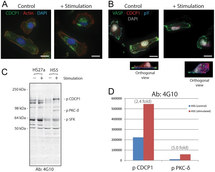 Immunofluorescence staining and protein blot analysis of CDCP1 in HS5 stromal cells before and after stimulation. Panel A : HS5 cells were treated with and without P3D9 stimulating antibody against CDCP1 for 30 minutes (right and left panels, respectively). They were then fixed and stained for CDCP1 (green), Actin (red) and Nuclei (DAPI, blue). Scale bars, 20 µm. Panel B : Control and stimulated HS5 cells were fixed and stained for VASP (green), CDCP1 (red), phosphotyrosine (pY, blue; detected by 4G10 antibody) and nuclei (DAPI, gray). Orthogonal images of the control and stimulated cells are shown. Pink fluorescence indicates the co-localization of CDCP1 and pY, suggesting that CDCP1 was tyrosine-phosphorylated. Original objective, X60. Scale bars, 20 µm. Panel C : Western blot analysis of detergent extracts of HS27a and HS5 cells before (−) and after (+) P3D9 stimulation. 4G10 antibody against pY was used. The bands of phosphorylated CDCP1, pSFK and <t>PKC-δ</t> were indicated according to the published studies [25] , [46] . Identification of the PKC-δ band was confirmed by knock-down experiments of HS5 cells using <t>siRNA</t> for PKC-δ ( Figure S3 in File S1 ). Panel D : Integrated pixel intensity of the bands of phosphorylated CDCP1 and PKC-δ in the blot of Panel C was quantitated by using Odyssey application software. Blue and red bars indicate HS5 cells before and after stimulation, respectively.