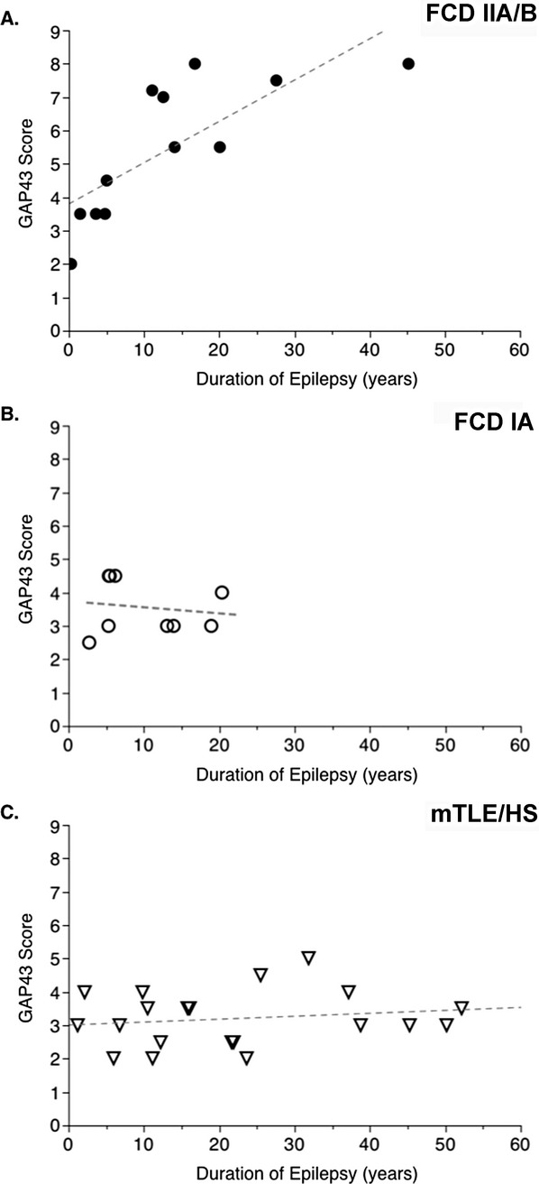 Analysis of GAP-43 and epilepsy duration (in years) in three groups of patients. (A) Twelve patients with FCD IIA/B pathology; (B) nine patients with FCD IA pathology; (C) 20 patients with mTLE/HS. There is no significant difference in epilepsy duration between FCD IIA/B and FCD IA groups despite two patients with epilepsy duration longer than 20 years in FCD IIA/B group. Note only in patients with FCD IIA/B pathology, the association between epilepsy duration and GAP-43 score is significant ( P