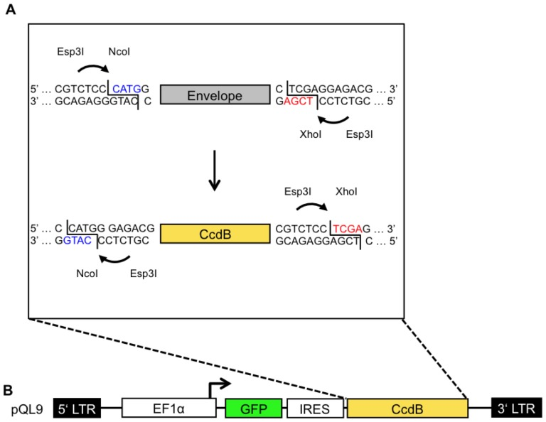 "Schematic overview of the QL cloning procedure. An envelope gene or an envelope library is amplified with primers to introduce flanking Esp3I restriction sites enabling the generation of a 5′ NcoI and a 3′ Xho sitey (A; top). The envelope gene or an envelope library is incubated together with pQL9/11 in a one-tube reaction with Esp3I and T4-Ligase. Compatible ""sticky-ends"" (equally colored) can be ligated successfully, direct proper orientation and mediating resistance for further cleavage (A). Following transformation of CcdB sensitive bacteria, only recipients bearing a plasmid without CcdB are able to form colonies in the presence of ampicillin. (B) The lentiviral vector construct pQL9 comprises (i) 5′LTR (Long terminal repeat), (ii) EF1α (human promotor), (iii) GFP (marker gene), (iv) an IRES (internal ribosome entry site), (v) a CcdB positive selection marker [58] , and (vi) a 3′LTR sequence."