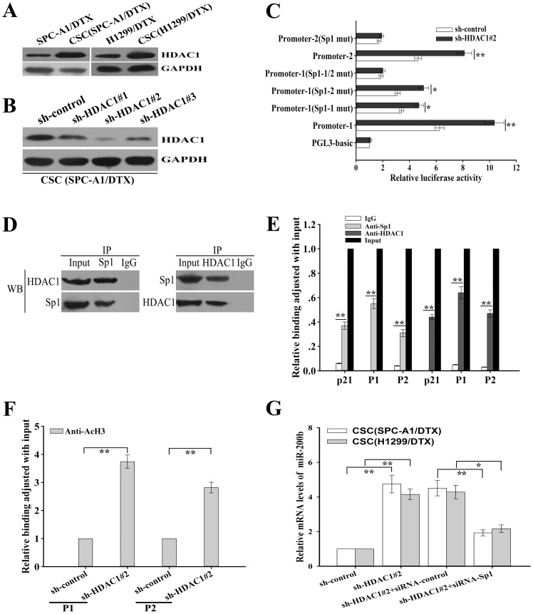 HDAC1 repression enhances miR-200b promoter activities and up-regulates the histone H3-acetylation level at the promoters through the Sp1-dependent pathway. (A) Western blotting detection of HDAC1 protein expression in CSCs from docetaxel-resistant LAD cells or parental docetaxel-resistant LAD cells. GAPDH was used as an internal control. (B) Western blotting detection of HDAC1 protein expression in CSCs from SPC-A1/DTX cells transfected with either HDAC1-shRNAs (HDAC1-shRNA#1, #2 or #3) or shRNA-control vectors, which indicated that the inhibitory effect of HDAC1-shRNA#2 was the most effective shRNA vector. GAPDH was used as an internal control. (C) Luciferase activities after transfection of the sh-HDAC1#2 or the control vectors into CSCs (SPC-A1/DTX) that had been previously cotransfected with Renilla and either wild-type, Sp1 mutant or PGL3-basic vector-firefly-promoter reporter constructs. Data was normalized to Renilla luciferase activity and determined relative to PGL3-basic-vector promoter activity. (D) The co-immunoprecipitation assay indicated that HDAC1 co-immunoprecipitated with Sp1 in vivo in CSCs (SPC-A1/DTX). HDAC1 and Sp1 were visualized by Western blotting (WB). (E) Chromatin immunoprecipitation (ChIP) assay indicated that HDAC1 and Sp1 bound to the miR-200b promoters in vivo . ChIP assays were performed in CSCs (SPC-A1/DTX) with antibodies directly against Sp1, HDAC1 or IgG control. ChIP-derived DNA was amplified after immunoprecipitation by qRT-PCR with specific primers that were designed to amplify the sequences containing the putative Sp1-binding sites. Data were shown relative to qRT-PCR products amplified with input DNA before immunoprecipitation. p21 was used as a positive control. (F) The ChIP assays indicated that HDAC1 decreased the histone H3-acetylation level at the miR-200b promoters through the Sp1-dependent pathway. ChIP assays were performed with antibody directly against acetyl-Histone H3 (AcH3) in CSCs (SPC-A1/DTX) that were transf