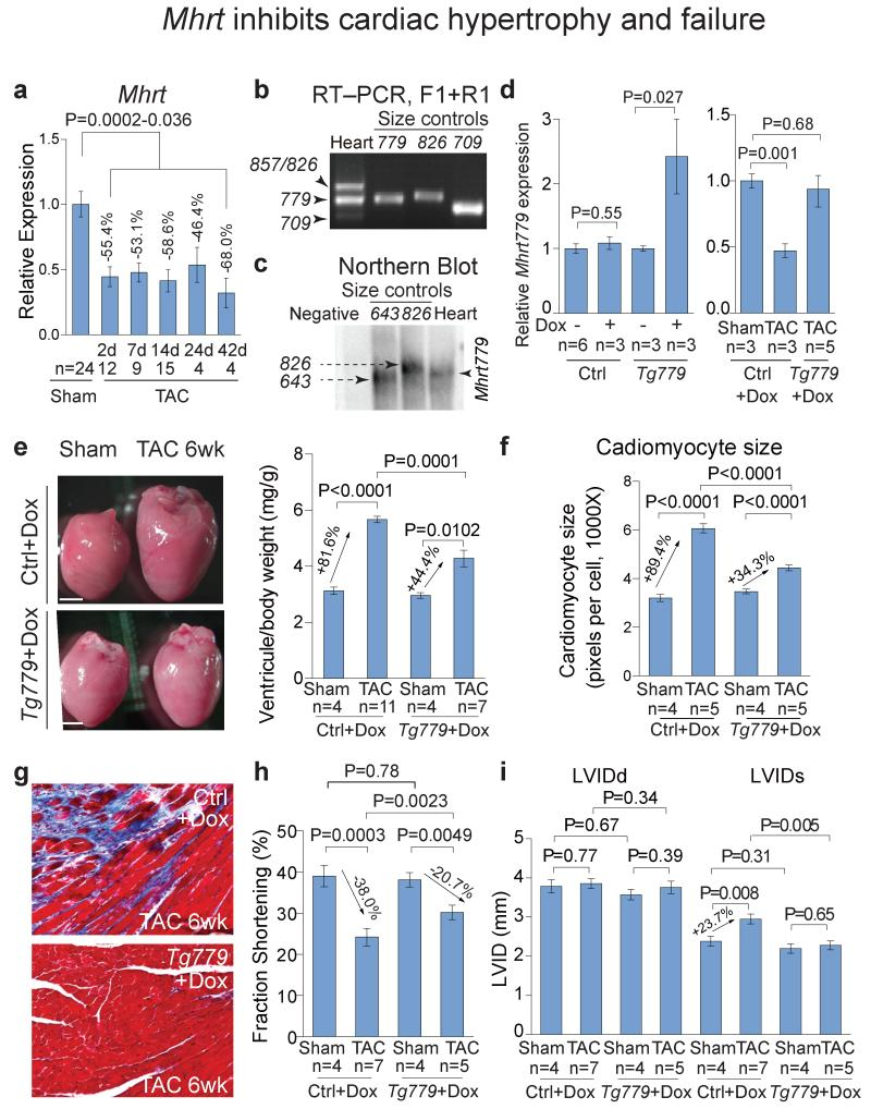 Mhrt inhibits cardiac hypertrophy and failure a, Quantitation of cardiac Mhrt s 2–42 days after TAC operation. P-value: Student's t-test. Error bar: SEM. b, <t>RT-PCR</t> of Mhrts in adult heart ventricles. Primers (F1 and R1, Fig. 1a ) target Mhrt common regions. Size controls 779, 826, 709 are PCR products of recombinant Mhrt779, Mhrt826 , and Mhrt709 , respectively. c , Northern blot of Mhrts in adult heart ventricles. The probe targets common regions of Mhrts . Negative: control <t>RNA</t> from 293T cells. Size control 826 is recombinant Mhrt826 ; 643 (not a distinct Mhrt species) contains the 5′ common region of Mhrt . d Quantitation of Mhrt779 in control or Tg779 mice with/without doxycycline (Dox) or TAC operation. Mhrt779 -specific PCR primers were used. Ctrl: control mice. Tg779 : Tnnt2-rtTA ; Tre-Mhrt779 mice. P-value: Student's t-test. Error bar: standard error of the mean (SEM). e, Ventricle-body weight ratio of hearts 6 weeks after TAC. P-value: Student's t-test. Error bar: SEM. Scale=1 mm. f, Quantitation of cardiomyocyte size in control and Tg779 mice 6 weeks after TAC by wheat-germ agglutinin staining. P-value: Student's t-test. Error bar: SEM. g, Trichrome staining in control and Tg779 hearts 6 weeks after TAC. Red: cardiomyocytes. Blue: fibrosis. h, i, Echocardiographic measurement of left ventricular fractional shortening ( h ) and internal dimensions at end-diastole (LVIDd) and end-systole (LVIDs) ( i ) 6 weeks after TAC. P-value: Student's t-test. Error bar: SEM.