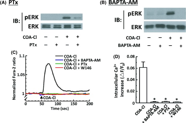 Roles of PTx-sensitive G-proteins and intracellular Ca 2+ in COA-Cl-induced ERK1/2 phosphorylation responses in HUVEC. (A) Results of immunoblot (IB) analyses in which HUVEC were treated with COA-Cl either in the presence or absence of pretreatment with PTx. HUVEC were treated with 50 ng mL −1 of PTx overnight, followed by 100 μ mol/L of COA-Cl for 15 min. They were then subjected to IB analyses for phospho- and total-ERK1/2, as described above. (B) BAPTA-AM, a chelator of intracellular calcium (20 μ mol/L for 30 min), was used instead of PTx. (A and B) Representative results of three independent experiments, which yielded equivalent data. (C and D) Results of intracellular Ca 2+ transients assays in HUVEC loaded with <t>fura-2-AM.</t> (C) Representative trace of 1 mmol/L COA-C1-induced intracellular Ca 2+ increase; some cells had been treated with various inhibitors as described above prior to COA-Cl treatment. (D) Summarizes the results derived from pooled records obtained from 8−28 cells in each group. Fura-2 fluorescent signals were recorded and analyzed as described in the main text. Changes in the fura-2 ratio that corresponded to peak increases in intracellular Ca 2+ concentrations are shown as ▵F/F 0 . * P