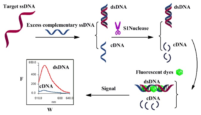 Illustration of the label-free ssDNA detection strategy for detecting sequence-specific ssDNA target with its complementary ssDNA, S1 nuclease and DNA fluorescent dyes.