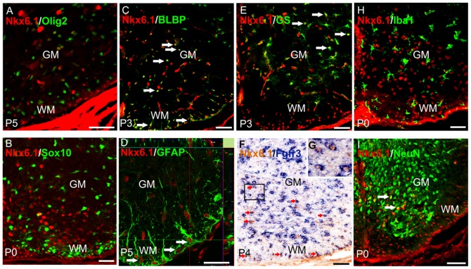 Nkx6.1 expression in ventral spinal cord astrocytes. A-E : Transverse sections from wild-type mice spinal cord at early postnatal stages were double immunostained with anti-Nkx6.1 in conjunction with <t>anti-Olig2,</t> anti-Sox10, <t>anti-BLBP,</t> anti-GFAP, or anti-GS. Double-positive cells are represented by arrows. Orthogonal reconstructions of confocal images at z-axis level are shown in side panels (along the right-hand edge and beneath). Note that all Nkx6.1+ cells in ventral white matter (WM) co-express GFAP. F-G : Spinal cord sections from P4 wild-type animal were subjected to Fgfr3 (blue) ISH followed by anti-Nkx6.1 (brown) immunostaining. Representative double positive cells in WM and gray matter (GM) are indicated by red arrows. The insets are the higher magnification of double positive cells. H-I : Transverse sections from wild-type mice spinal cord at P0 were double immunostained with anti-Nkx6.1 and anti-Iba1 or anti-NeuN antibodies. Arrows represent double-positive cells in GM. Scale bars 50 µm.