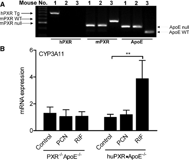 Generation of huPXR•ApoE −/− mice. A, Genotype analysis of huPXR•ApoE −/− and PXR −/− ApoE −/− mice by 3 different PCR assays. The presence of the human (h) PXR transgene was determined by hPXR primers (576 bp). Mouse (m) PXR primers were used to identify WT allele (348 bp) and PXR null allele (265 bp). Mouse ApoE primers were used to identify WT allele (155 bp) and ApoE null allele (245 bp). Mouse no. 1 is huPXR•ApoE −/− , no. 2 is PXR −/− ApoE −/− , and no. 3 is WT control. B, Six‐week‐old male huPXR•ApoE −/− and PXR −/− ApoE −/− mice were treated with DMSO vehicle control, mPXR‐specific ligand pregnenolone 16α‐carbonitrile (PCN), or hPXR‐specific ligand rifampicin (RIF) by intraperitoneal injection at the dose of 10 mg/kg per day for 3 days. Total RNA was extracted from the liver, and the mRNA levels of prototypic PXR activated gene CYP3A11 were measured by QPCR (n=5 per group, ** P