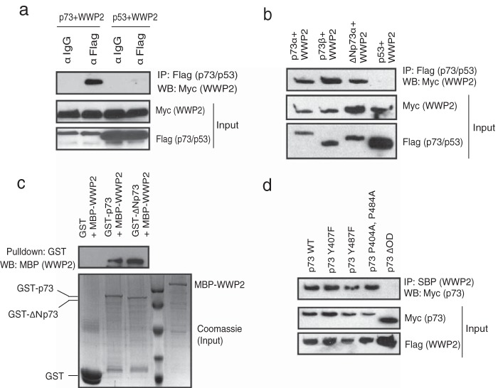 p73 is a WWP2-associated protein. (a) 293T cells were transfected with either Flag-tagged p73 or SFB-tagged p53 together with Myc-tagged WWP2. Immunoprecipitation was performed using anti-IgG or anti-Flag antibody, followed by immunoblotting with anti-Myc antibody. (b) 293T cells were separately transfected with Flag-p73α, Flag-p73β, Flag-ΔNp73α, and SFB-p53 together with Myc-WWP2. Immunoprecipitation was performed using anti-Flag followed by immunoblotting with anti-Myc antibody. (c) Bacterial cell lysate expressing MBP-WWP2 was added to GST, GST-p73, or GST-ΔNp73 immobilized on agarose beads. The in vitro interaction of WWP2 was assessed by immunoblotting with MBP antibody. The expression of GST, GST-p73, GST-ΔNp73, and MBP-WWP2 was shown by Coomassie staining. (d) The indicated mutants of p73 were coexpressed along with WWP2, and their interaction was determined by immunoblotting with Myc antibody after immunoprecipitation using streptavidin beads (SBP). α, anti; IP, immunoprecipitation; WB, Western blotting.